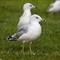 SeagullGround1280_IMG_2245