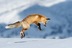 hayden valley red fox jumping to find a mouse