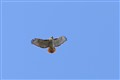 Red- tailed hawk