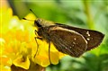 skippers butterfly (hesperiidae) on marigold flower