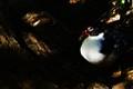 Pato terrestre / Ground duck