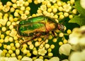 Gold Smith Beetle
