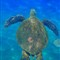 sea turtle 1small