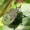 shield bug-green