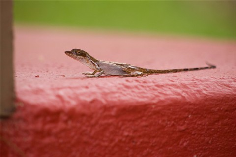 Step Lizard 2