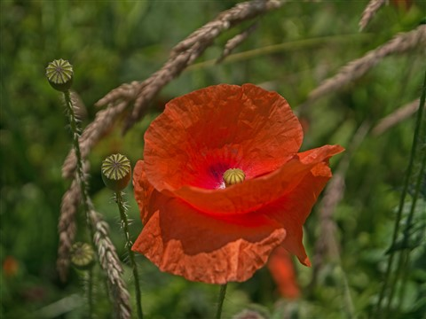 Another poppy.