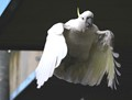 cockatoo takes flight