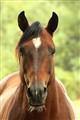 Bearded mare