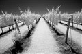 IR vineyard