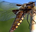 Fat Bodied Chaser