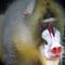 Baboon at Zoo2