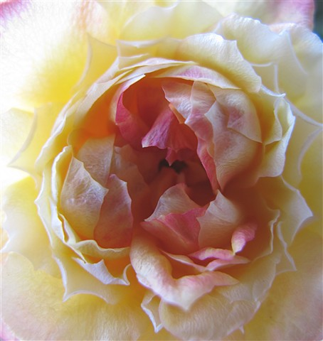 Inside a rose