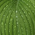 Hosta After The Rain