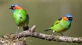 Red-necked Tanager males