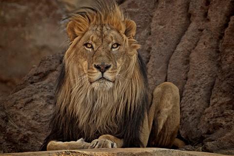 Lion Stare Devendra Galleries Digital Photography