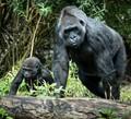 Gorilla Mom and Child