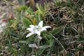 Edelweiss (Leontopodium nivale)