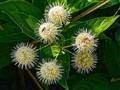Buttonbush Blossom Bug - Bummer!