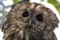 Night Hunter  (Tawny Owl (Strix aluco)  !
