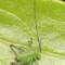 Cricket - Leptophyes punctatissima (speckled bush cricket) nymph