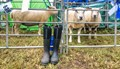 Sheep n Wellies