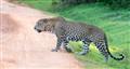 Sri Lanka, Yala, wild leopard