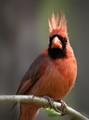 Northern Cardinal male.