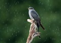 A Cuckoo caught in a rain shower.  Taken at Thursley Common.