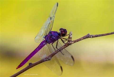 Male roseate skimmer dragonfly (Orthemis ferruginea - Libellulidae)