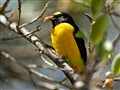 purple_throated_euphonia