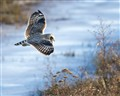 Low flying short eared owl