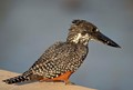 Giant Kingfisher 02