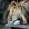 Lion at Mogo Zoo.