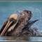 Pelican 12