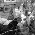 chicken wire (1600x1600)
