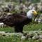 Eagle Eating 2
