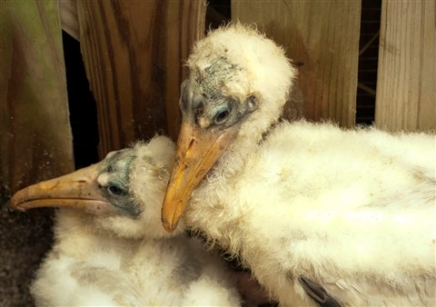 Rescued Wood Stork Chicks