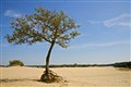 Tree in a sand drift