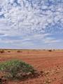 A Flowering Shrub in Central Australia