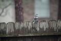 Mocking Bird on Fence