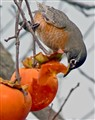 American Robin and Persimmon