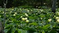 Lotus Pads and Flowers