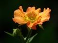 A Geum Flower