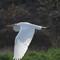 egret flying 8678 iso 100 f 5.6 1-1000 12-28-14 (1 of 1)