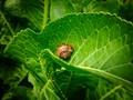 Discus snail