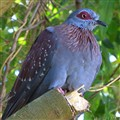 Speckled Rock Pigeon