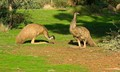 Emus at Rest
