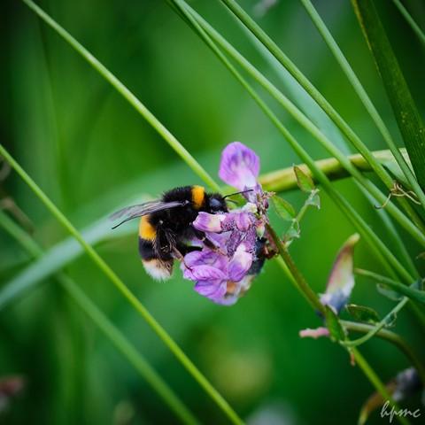 Bee on Vetch