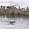 Monterey_cormorants&seals