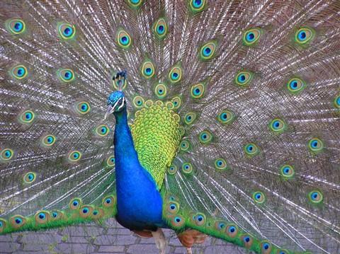 PeacockPB043944SatSmall